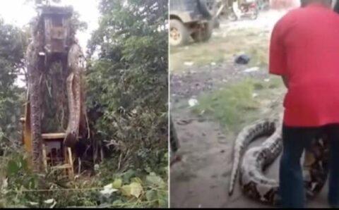 Ular Raksasa Ditemukan di Hutan, Saking Besarnya Harus Ditarik Pakai Mobil Derek